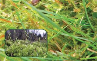 Moss Control on Grass